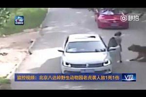 驚!北京八達嶺老虎咬死人視頻曝光。女子野生動物園內吵架負氣下車送命?