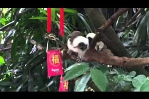 Cotton top tamarins at the Singapore Zoo receive 'red packets'
