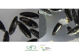 Mosquito eggs hatching vs not hatching