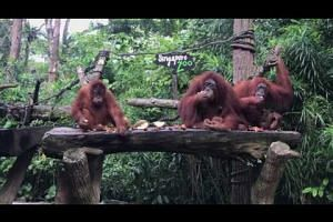 Orang Utans at the zoo enjoying durians