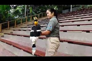 Sunny the Great Hornbill named Jurong Bird Park's new animal icon