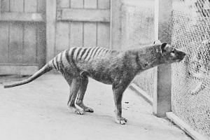 The Tasmanian Tiger was once found throughout mainland Australia and New Guinea.