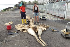 Curator Marcus Chua (left) and conservator Kate Pocklington at work preparing the whale skeleton.