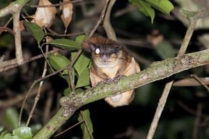 The Central Catchment Nature Reserve is the abode of rare mammals such as (from left) the Horsfield's flying squirrel, Sunda pangolin, the lesser mousedeer and the Sunda slow loris (below).