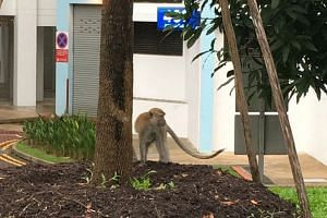A monkey, spotted at the Segar area in Bukit Panjang yesterday, has been terrorising residents in the estate by stealing their food and even biting them.