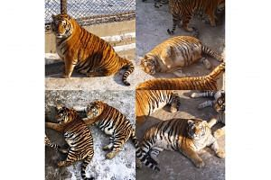 The tigers reportedly pile on the pounds to keep away the cold during the harsh winters, although media reports also attribute the weight gain to an increase in visitors, who feed them.
