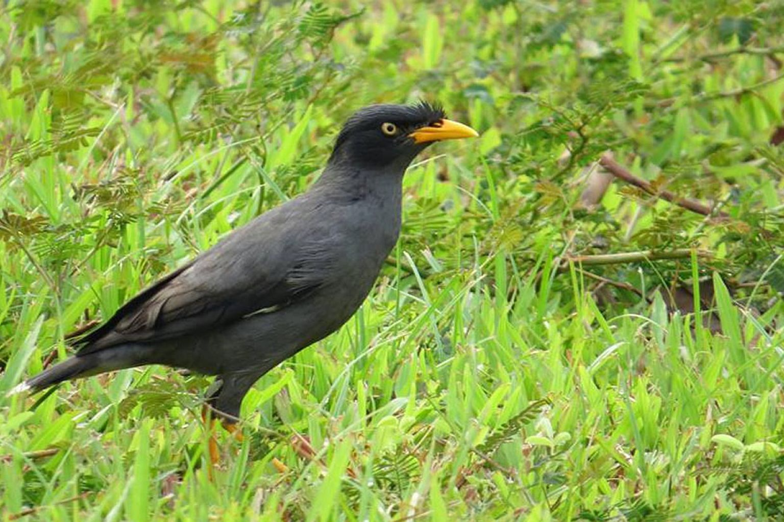 What does it mean to our native ecosystems that the Javan mynah (above) has displaced the common mynah? The answer may simply be fewer common mynahs. Or perhaps there are more serious effects which may be direct or indirect - and apparent only in the
