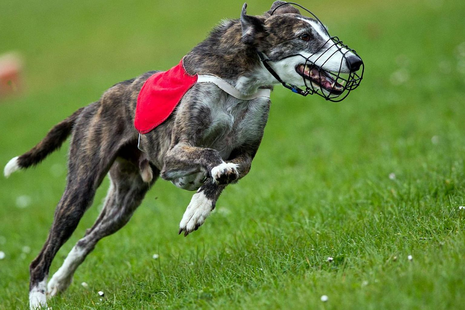 A greyhound competing on April 26, 2015, in Wismar, Germany. Two men have been charged in Australia with using kittens as live bait to train greyhounds, following allegations that piglets, rabbits and possums were also used in the sport. -- PHOTO: AF