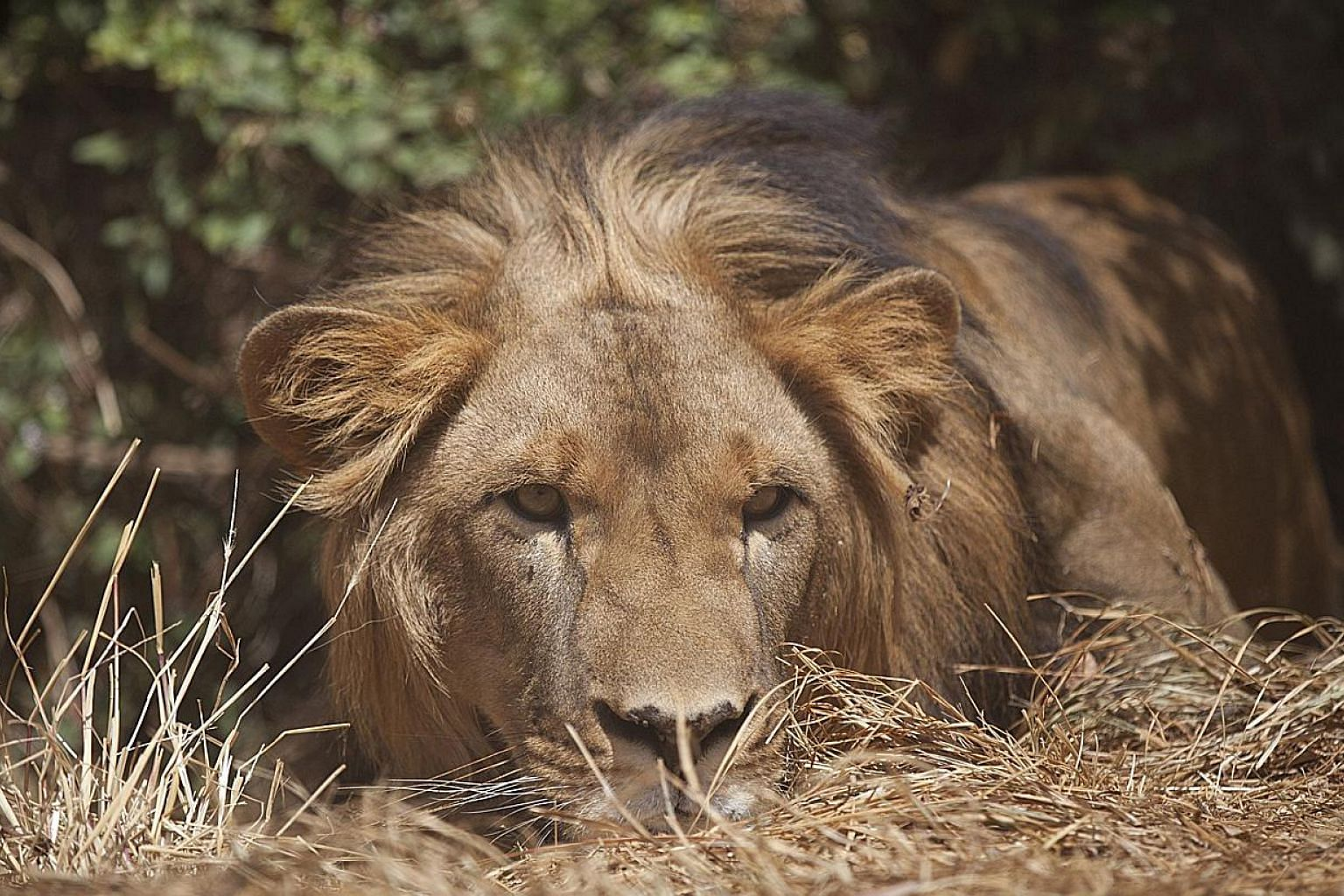 Zambia has lifted a ban on the hunting of big cats that was imposed over allegations of corruption in the awarding of government hunting concessions, officials said Wednesday.The hunting of lions (above) will start during the 2016 to 2017 hunti