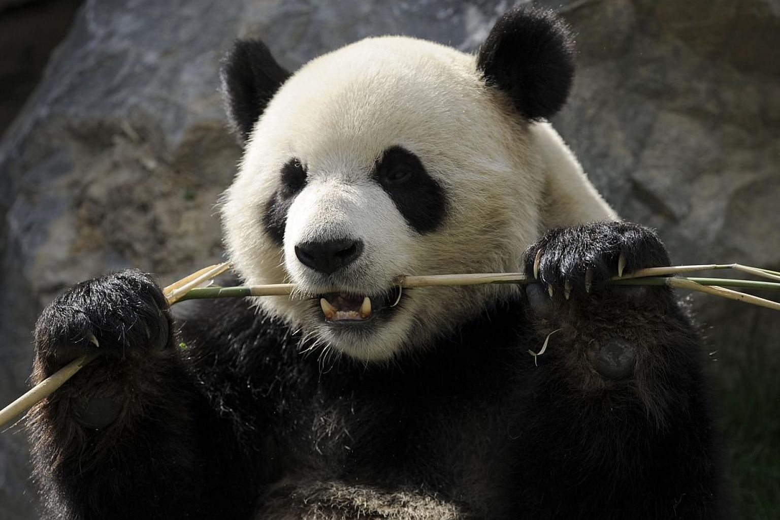 """A giant panda munching bamboo leaves at an animal park in Belgium.Despite two million years of munching almost exclusively on bamboo, the giant panda's gut has not adapted to eating the plant - putting the creatures in an """"evolutionary dilemma"""""""