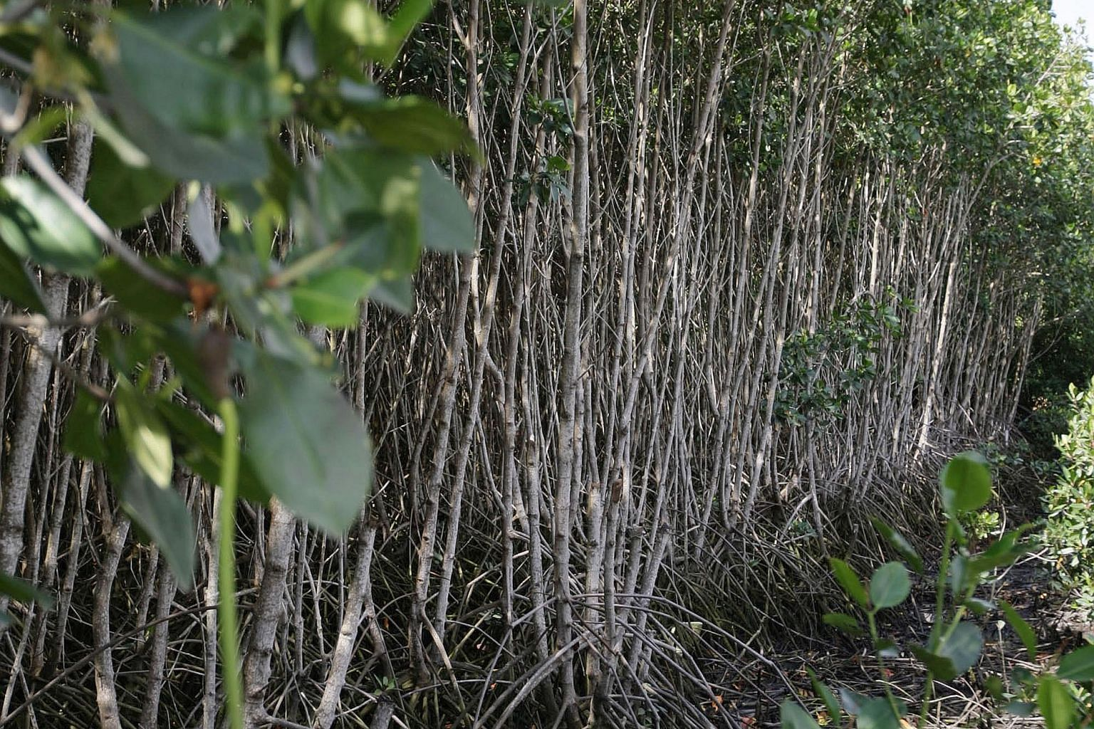 Mangroves are highly efficient carbon sinks, absorbing up to five times as much carbon dioxide as tropical forests. They are also important ecosystems, providing spawning grounds and habitat for hundreds of species.