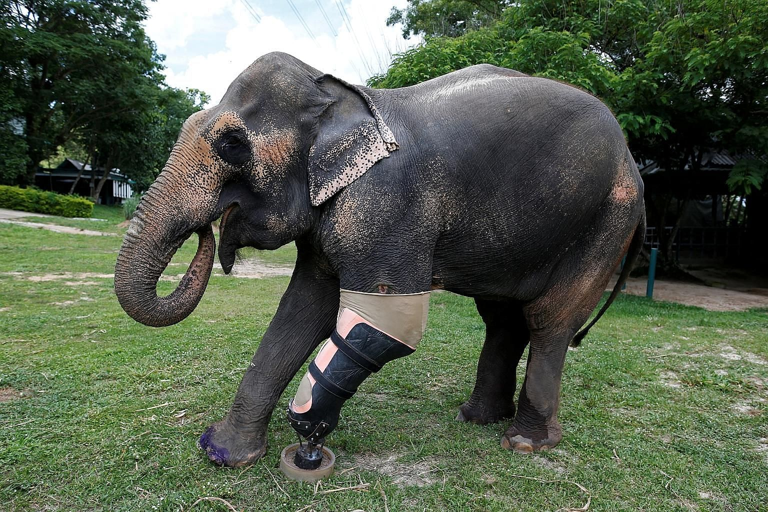 Motala, an elephant that was injured by a landmine, with its prosthetic leg, courtesy of Friends of the Asian Elephant Foundation in Lampang, Thailand.