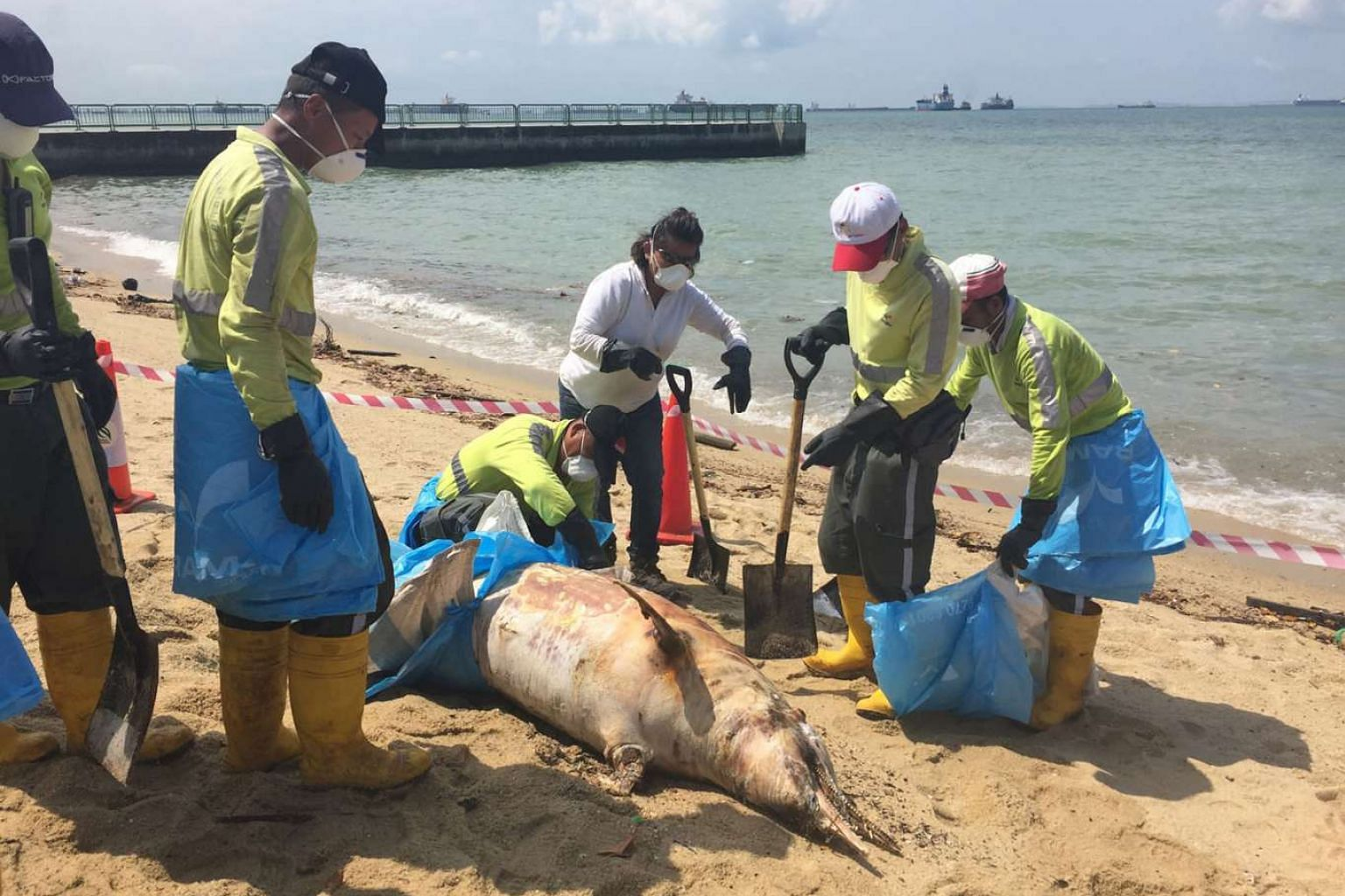 The dolphin carcass being removed by Ramky Cleantech Services workers yesterday. The workers poured disinfectant over the carcass and the surrounding area. They then wrapped it in trash bags and canvas sheets, before lifting it up with a large canvas bag