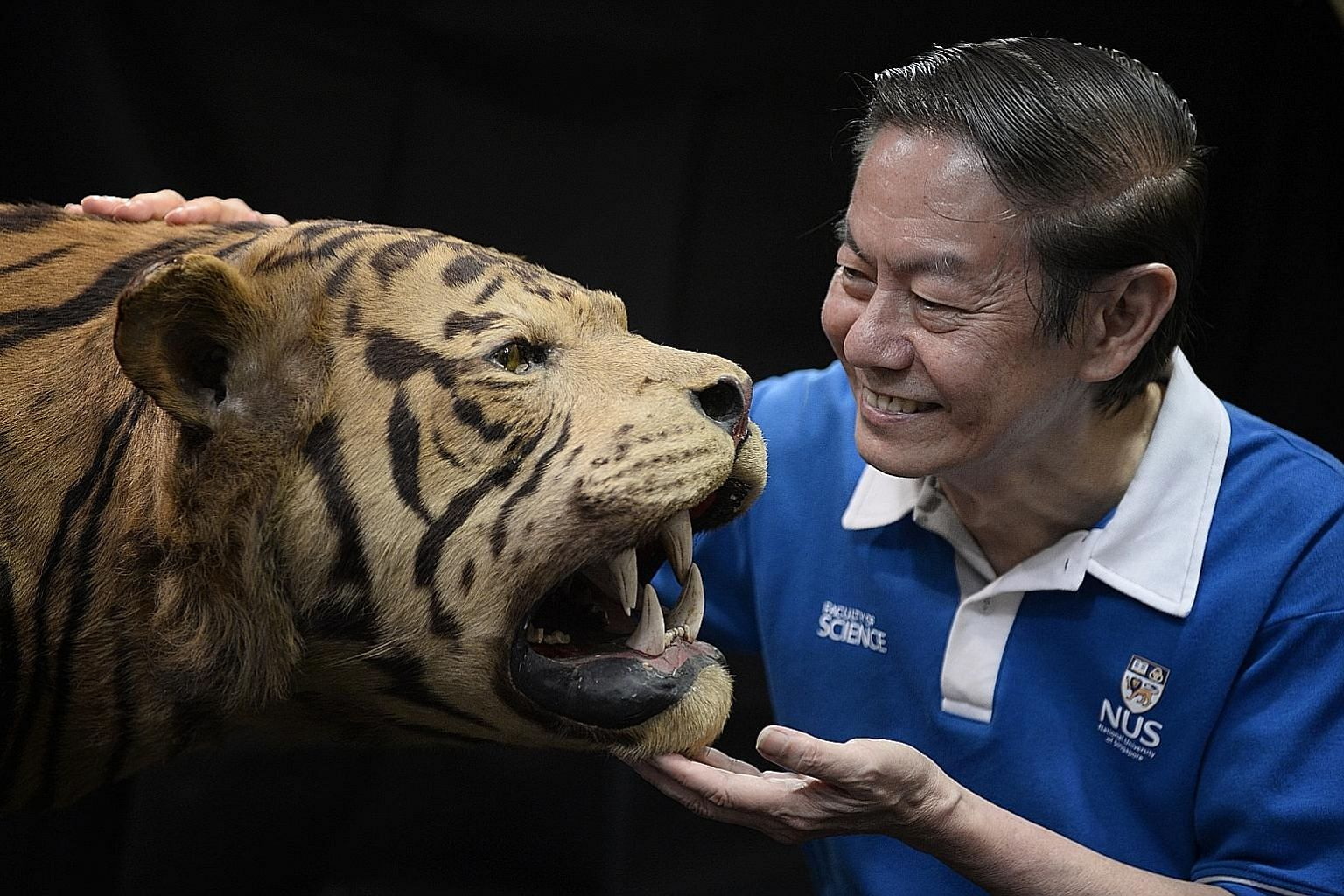 Professor Leo Tan with a stuffed tiger at the Lee Kong Chian Natural History Museum. Prof Tan and his former student, Professor Peter Ng, were instrumental in setting up Singapore's only natural history museum.