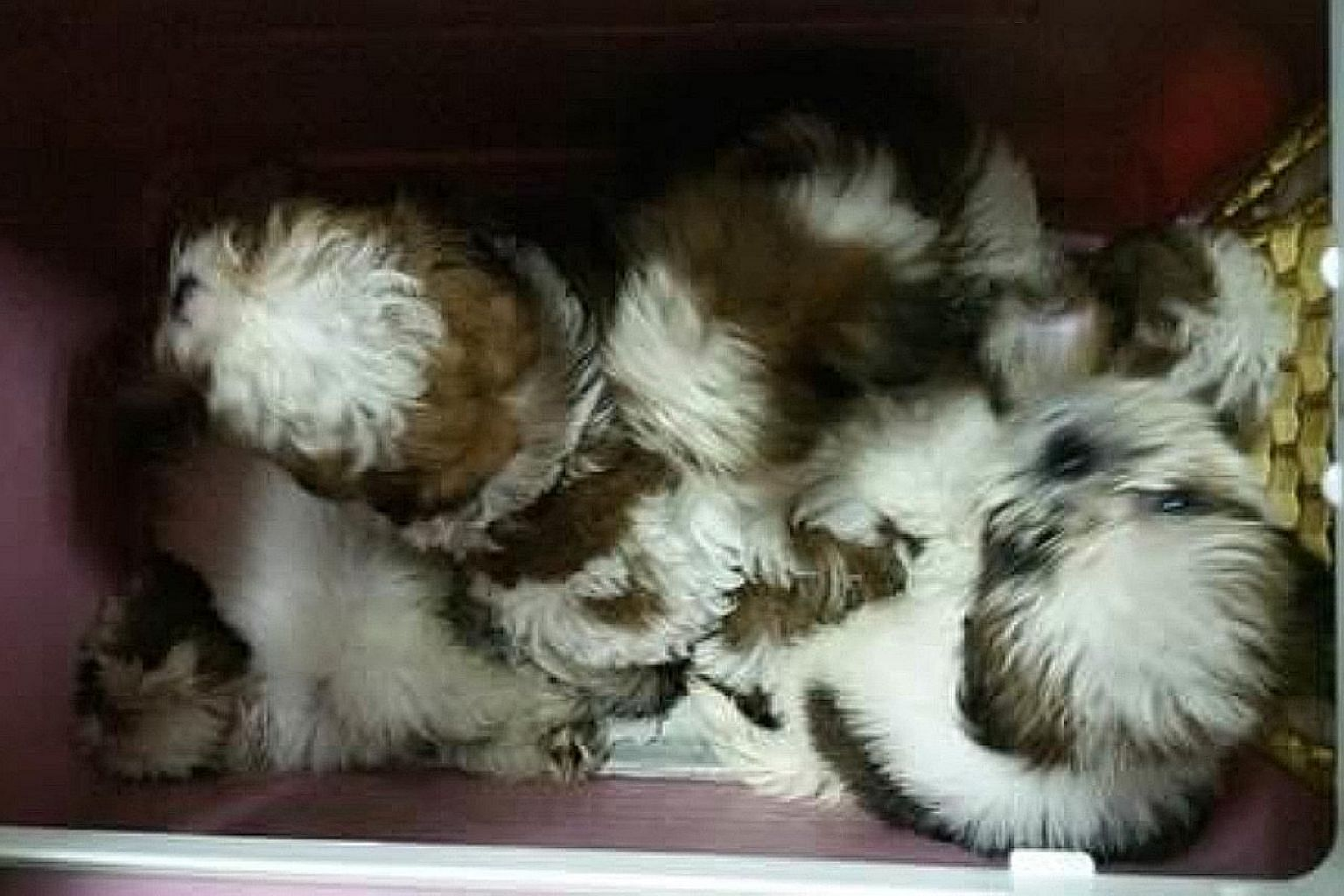 The smuggled puppies were kept in cramped conditions, with no food or water given to them.