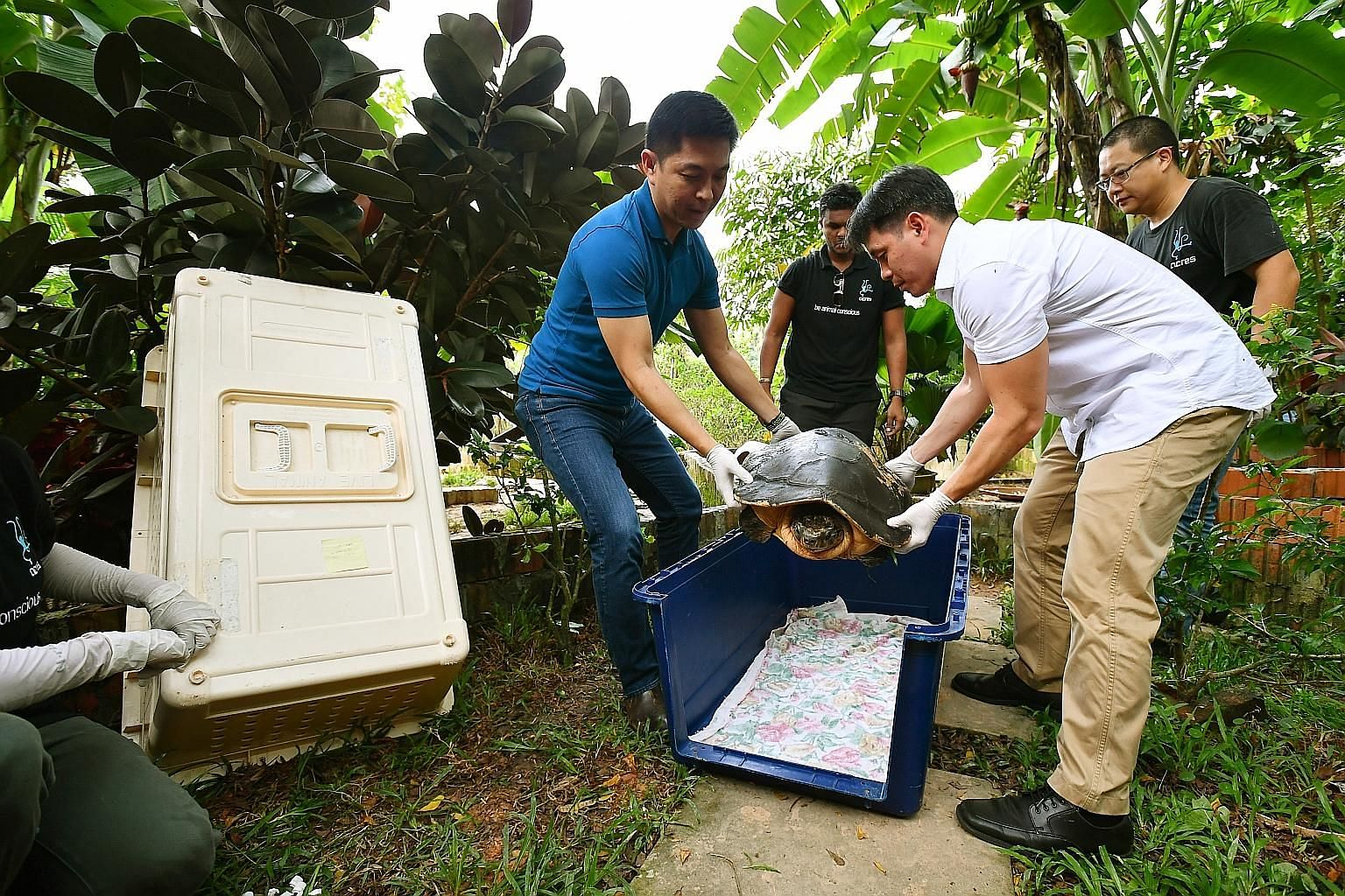 Minister Tan (far left) and Mr Ng transferring Rahayu, an endangered Malaysian giant turtle, into a transport crate for its trip back home to Malaysia.
