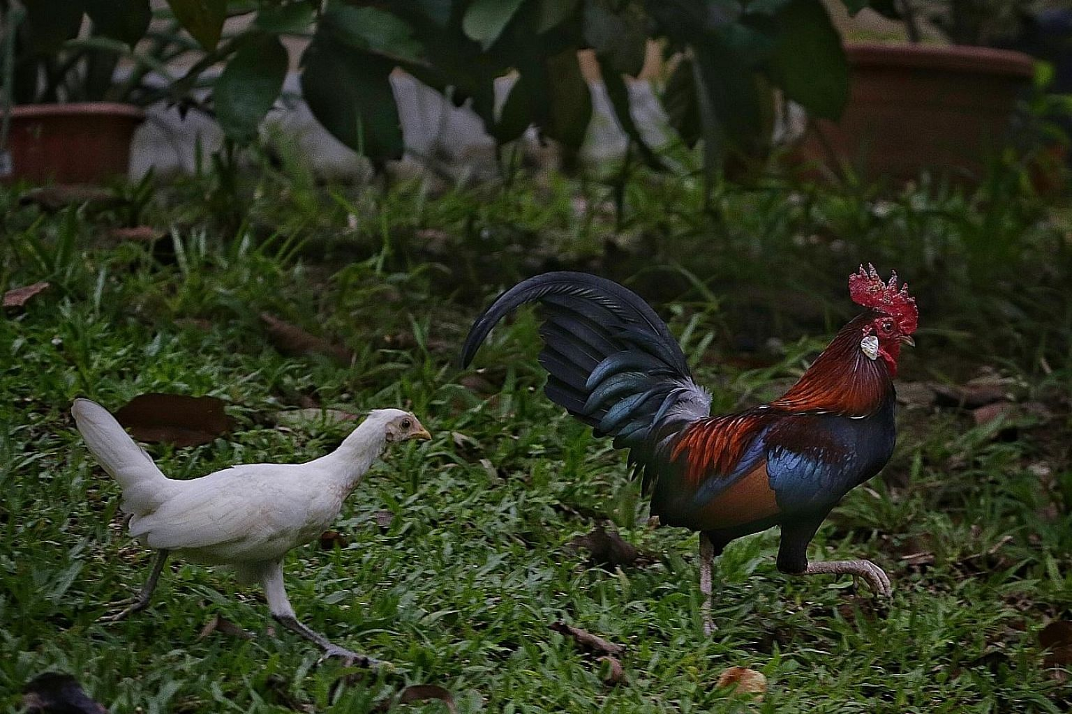A female hybrid (left) and a male red junglefowl seen in Pasir Ris yesterday. AVA killed 24 free-roaming chickens in Sin Ming after residents complained about noise.