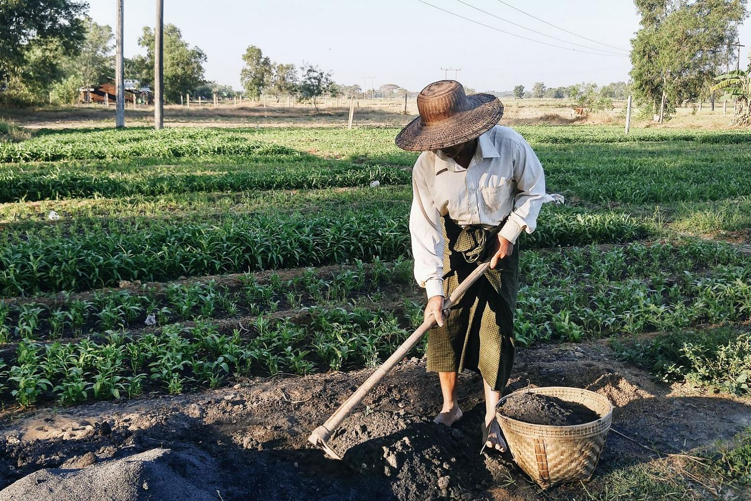 Myanmar farmer U Ko Aye starts work every day at sunrise, takes a lunch break at 11am and leaves the fields only at sunset. The 59-year-old diversifies his crops: harvesting rice twice a year and growing mustard and watercress, which take only a mont