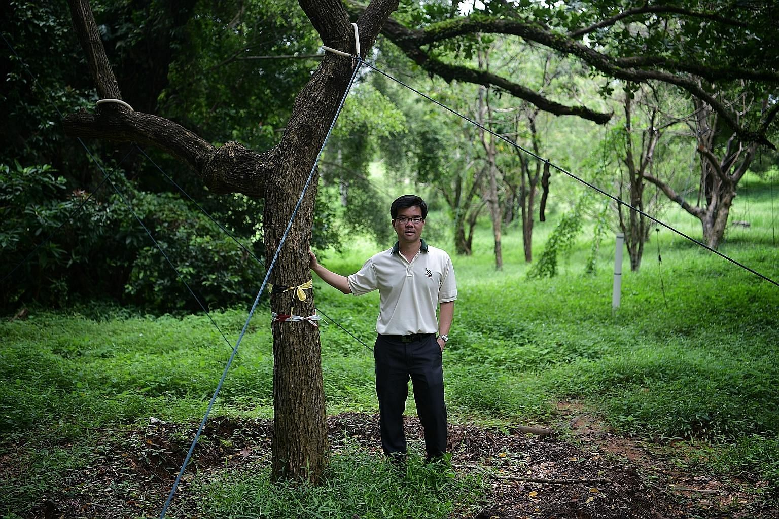 NParks streetscape group director Oh Cheow Sheng with a transplanted mango tree at the Bidadari holding area. While most of the trees to be removed will end up as material for mulching, biofuel and recycling, a small proportion will be salvaged. Thes