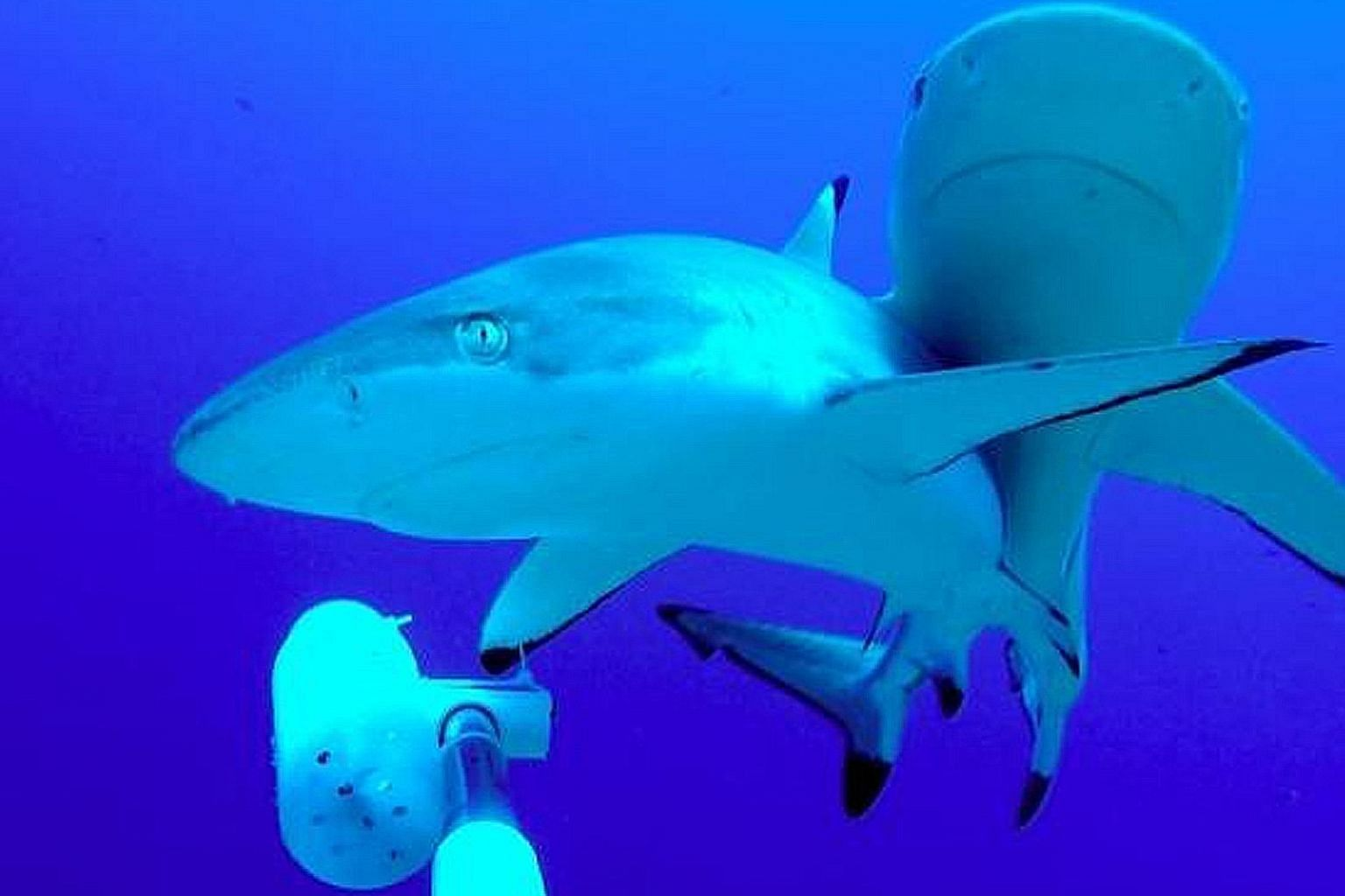 Researchers found that human interaction does not have any long-term behavioural impact on sharks.