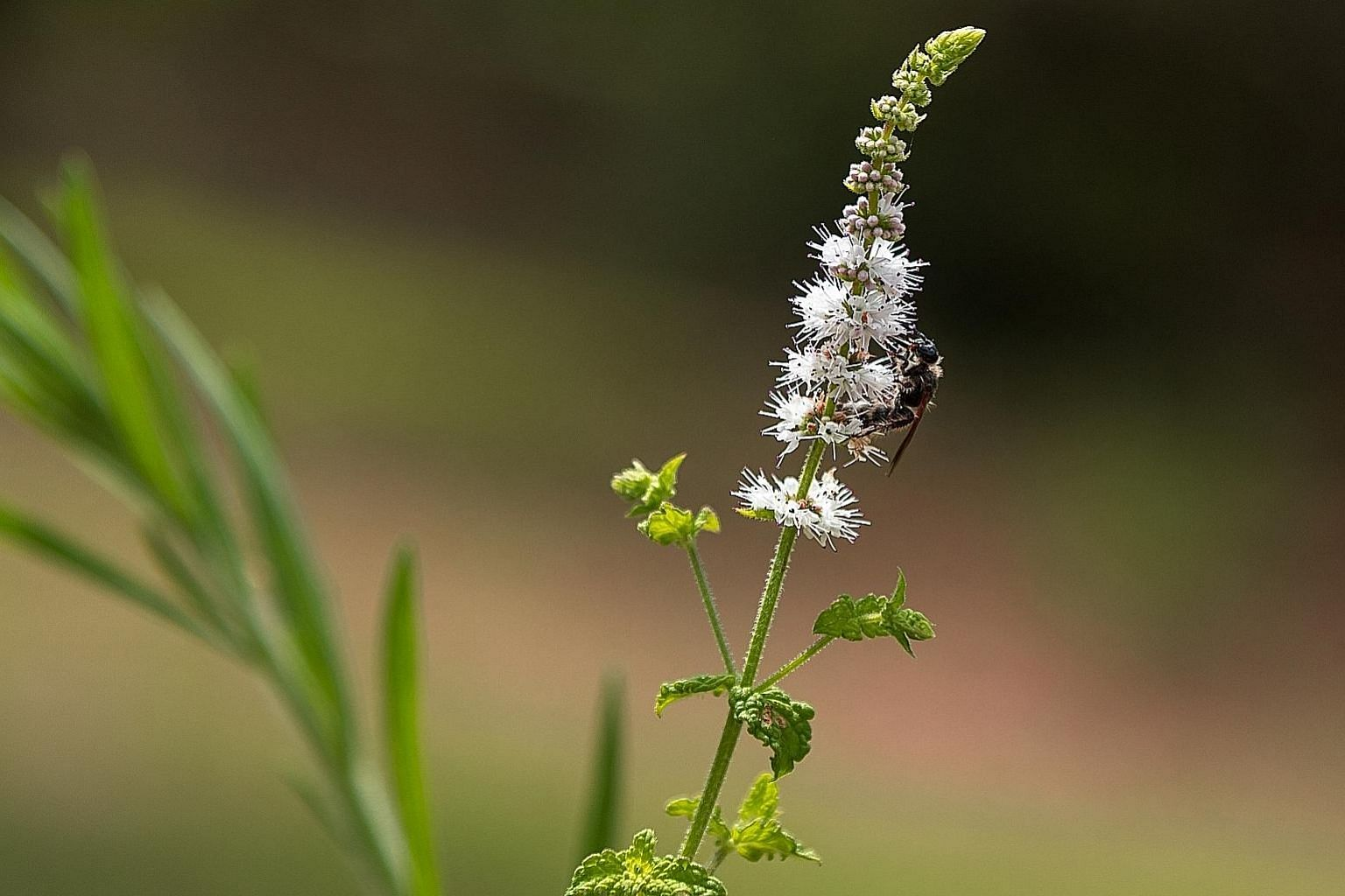 Researchers are unable to determine whether black cohosh, which is found in treatments for hot flushes, improves menopausal symptoms.