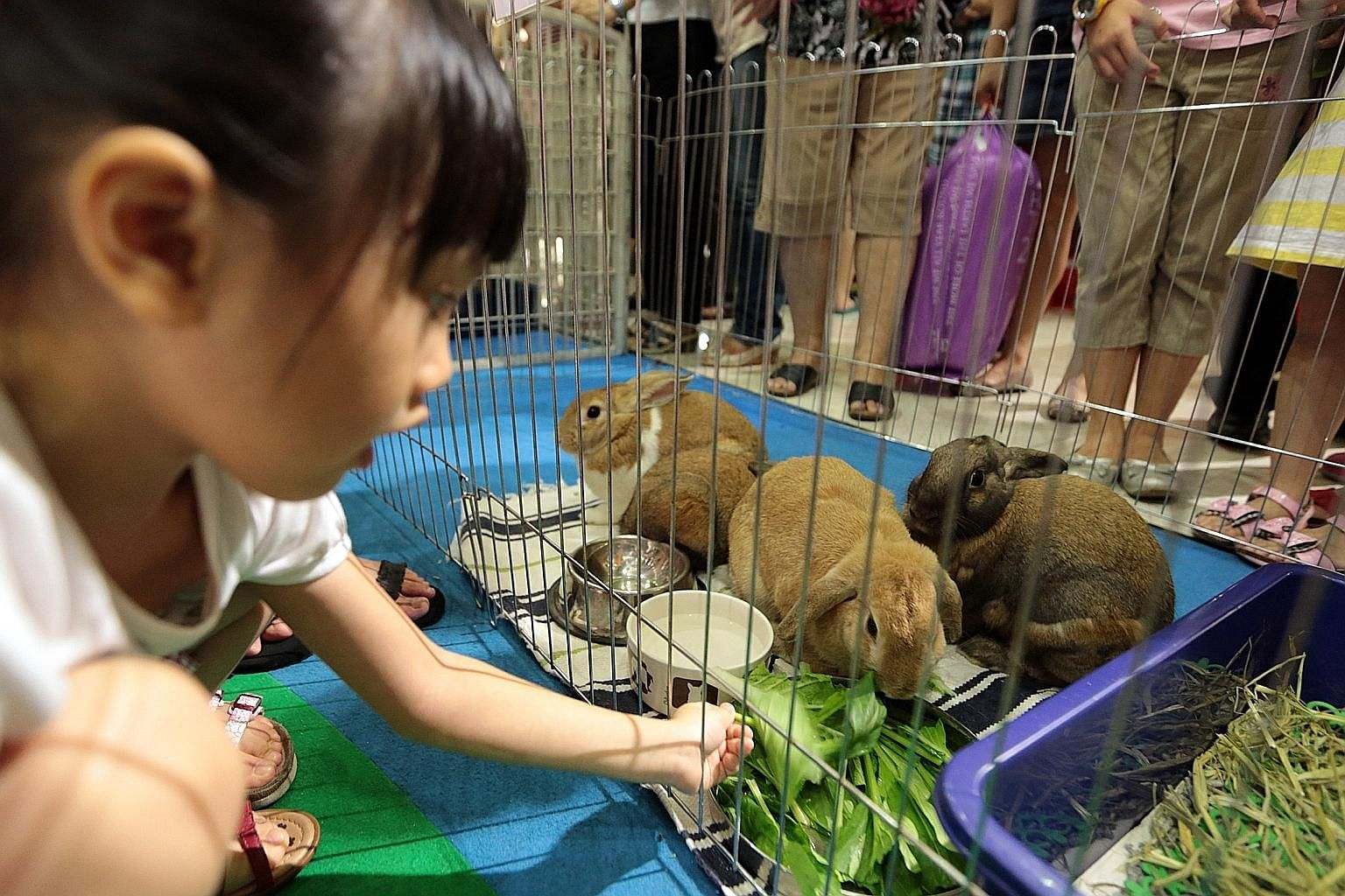 A girl playing with rabbits put up for adoption. Animal welfare groups are often called in by the authorities to rescue animals and then left to their own devices, even though they may lack the resources to manage such cases.
