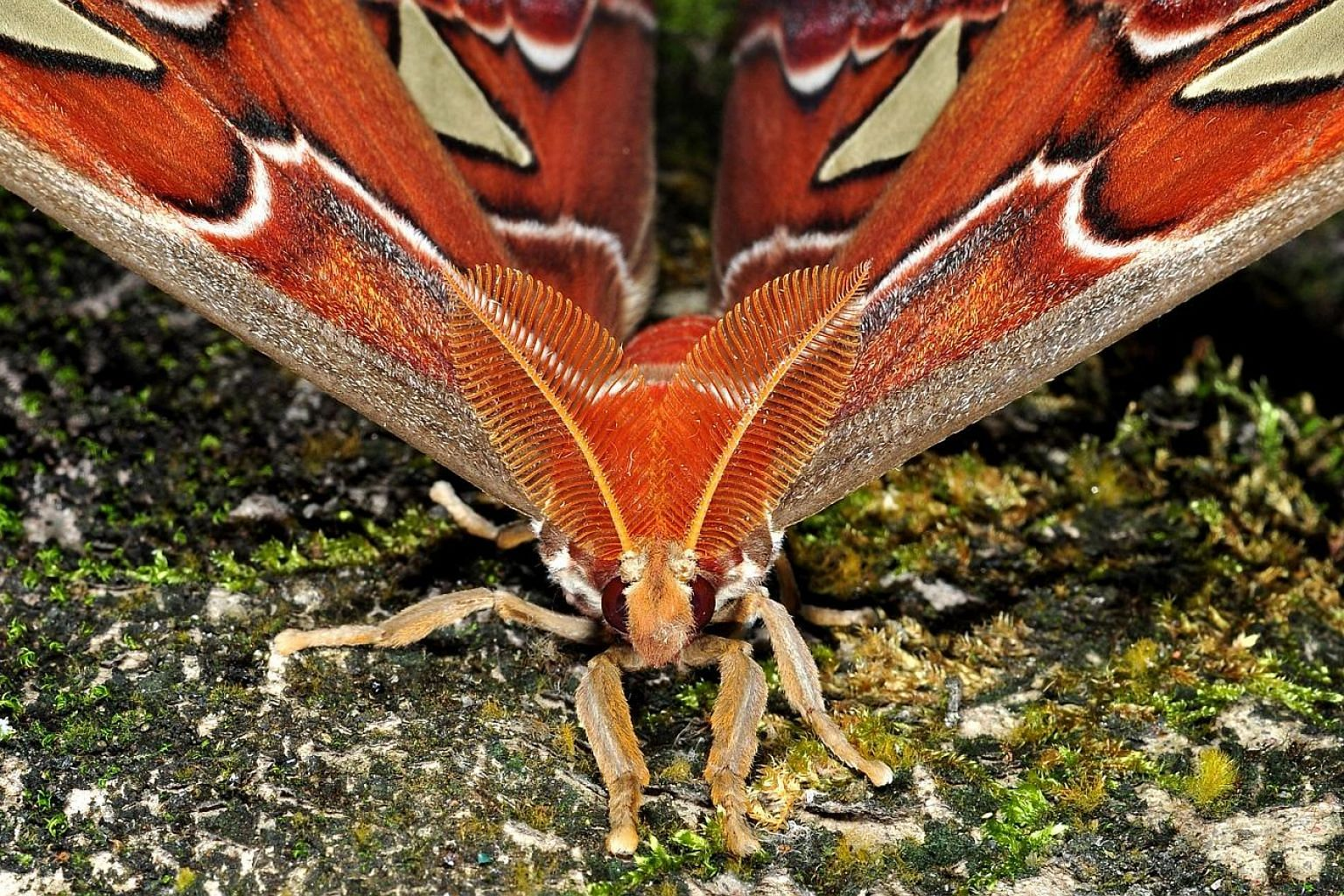 The raffles emerald moth (Tanaorhinus rafflesii) is named after the founder of Singapore, Sir Stamford Raffles, who was also a keen naturalist. The atlas moth (Attacus atlas) is one of the largest moth species in the world. It can be found in gardens