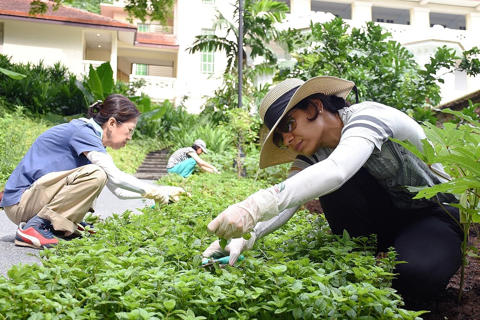 NParks volunteers (from left) Theresa Siew, 61, Tan Sok Oon, 65, and Gazal Papriwal, 42, harvesting plants at Fort Canning's Spice Garden. By sharing the harvest with the public, NParks hopes that it can educate more people about the different plants