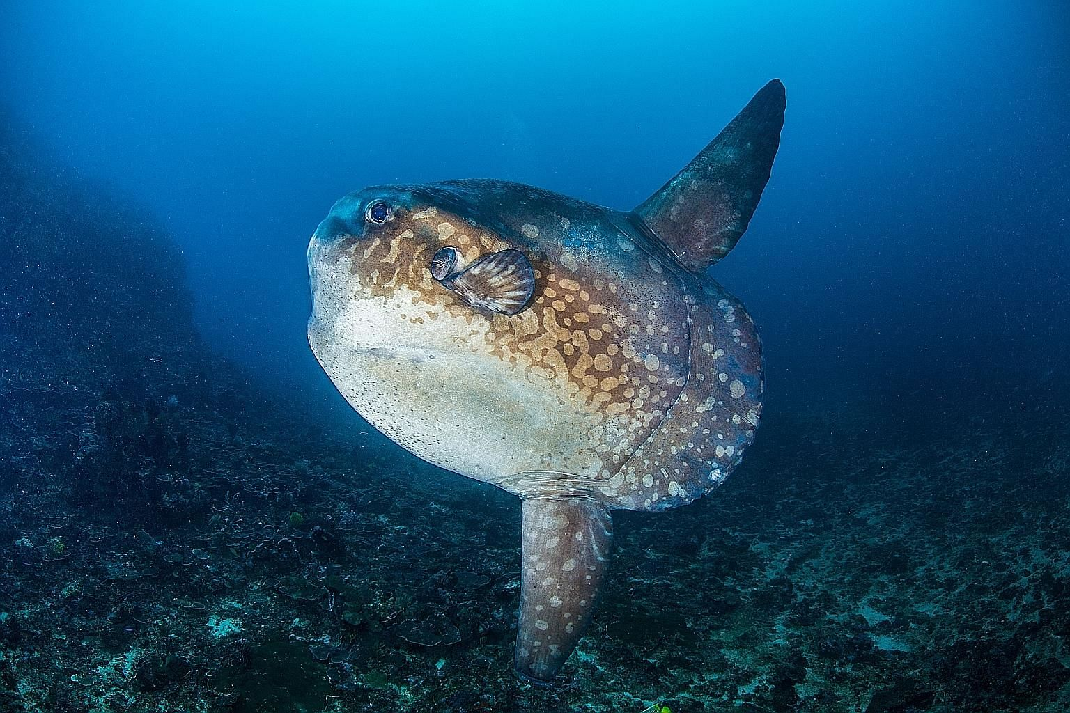 The ocean sunfish can grow up to a length of 2.7m and weigh up to 2.3 tonnes. Its size could increase its survival rate and help it produce more eggs than any other animal, says Professor Byrappa Venkatesh.