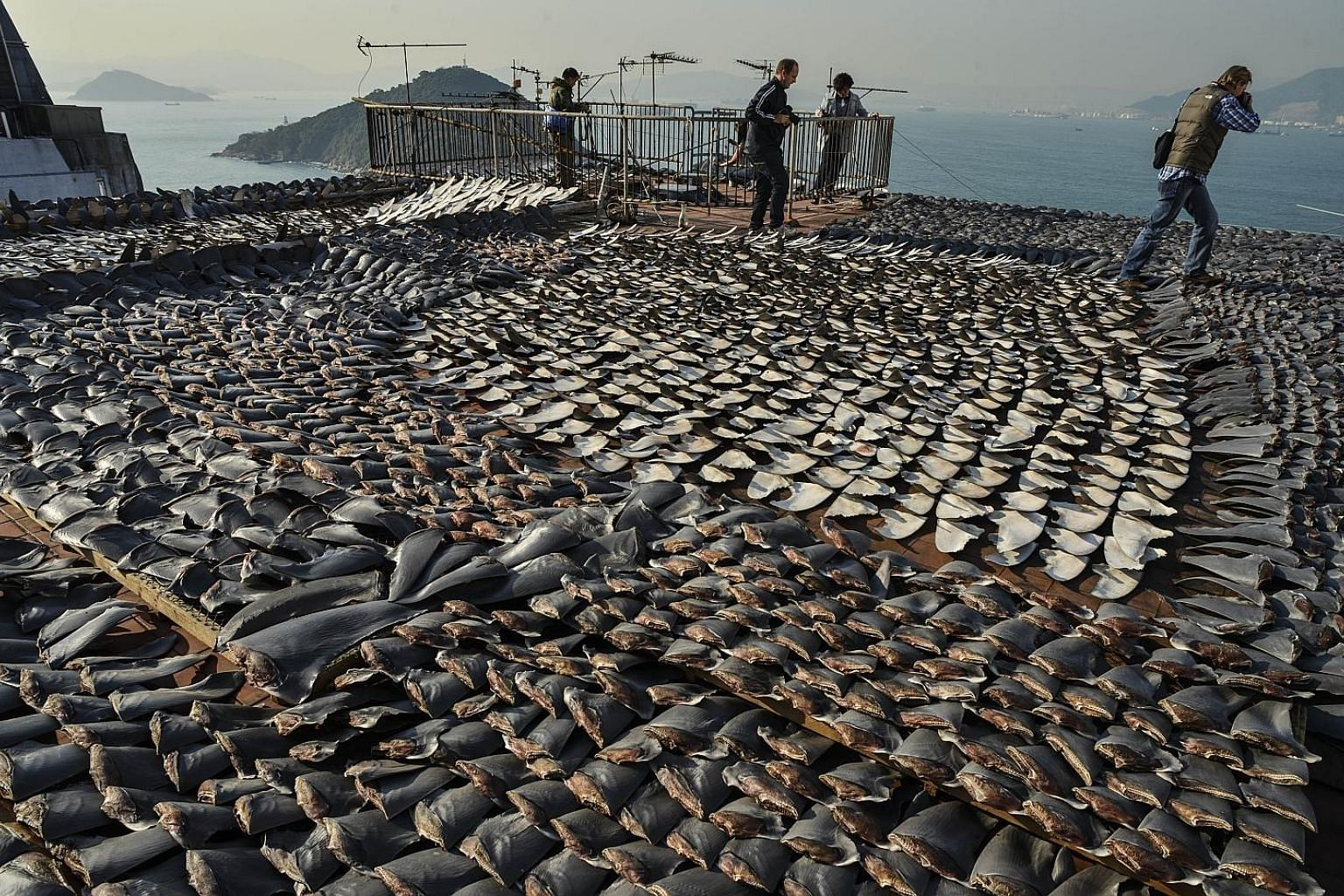 Dried sharks' fins on sale in Singapore. A report released last month found the Republic to be the world's second-largest trader of shark's fin in terms of value. Sharks' fins drying on the roof of a factory building in Hong Kong. The lack of traceab