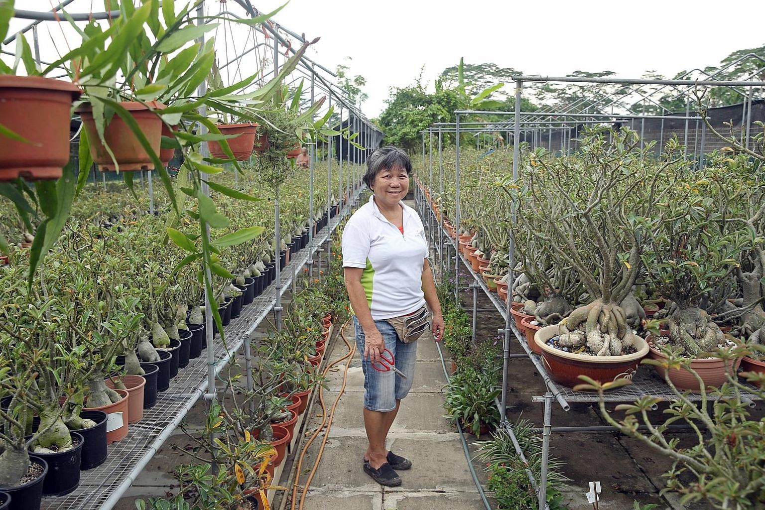 Among the herbs that retiree Kathy Chua grows are lemon myrtle and lemon verbena, which are more commonly grown in cooler climates.