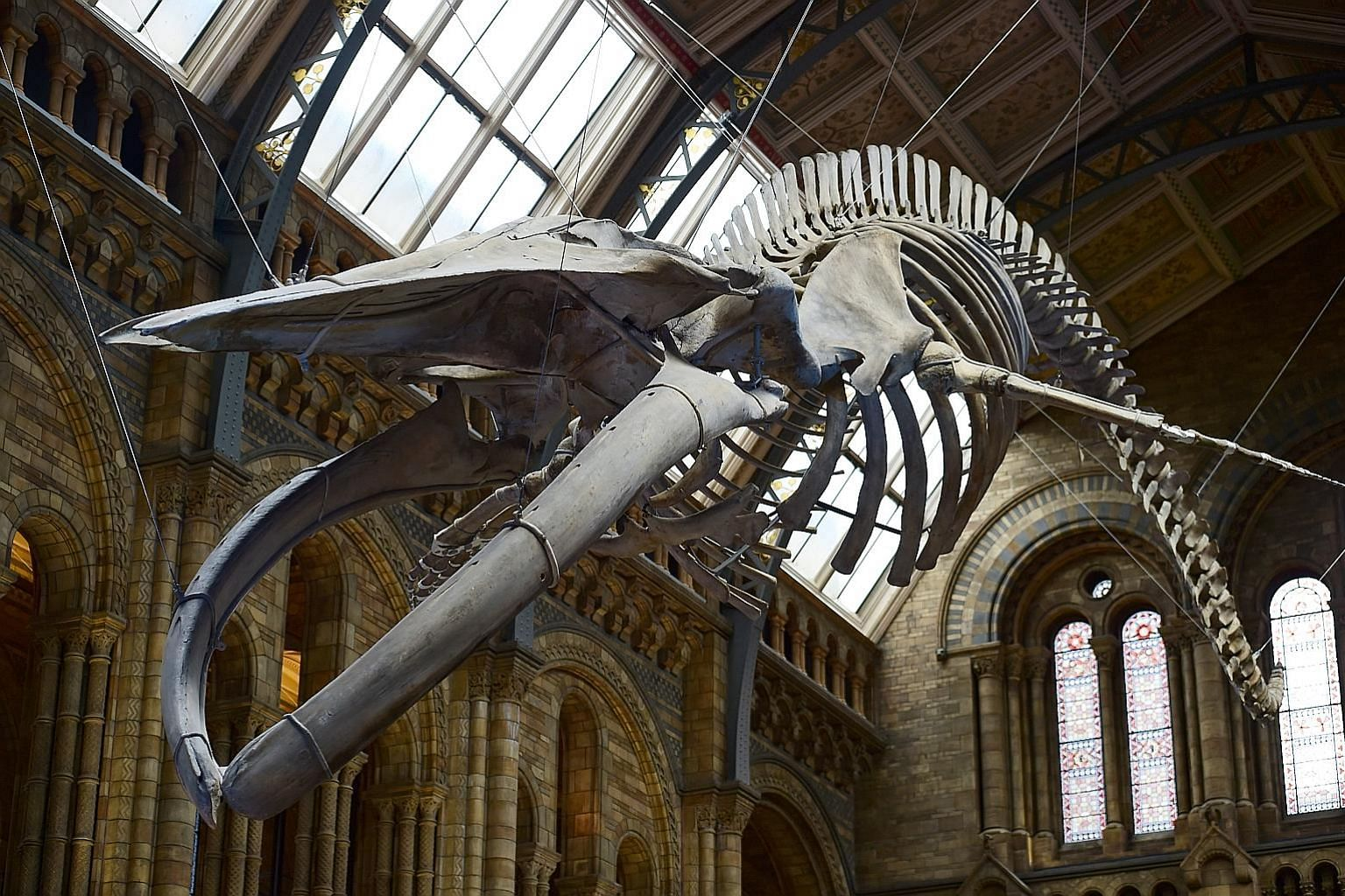 The real skeleton of Hope the blue whale, which died after becoming stranded in Wexford Harbour in Ireland 1891, takes centre stage in the atrium of London's Natural History Museum, replacing the replica skeleton of Dippy the diplodocus, which had gr