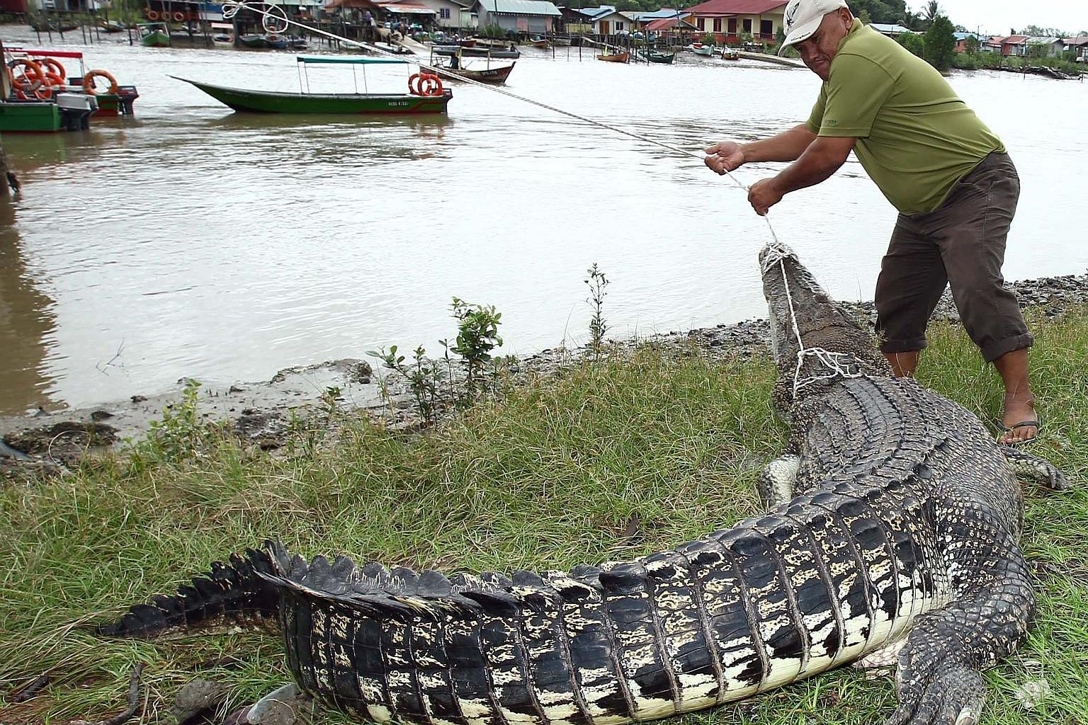 As the crocodile population rises in Sarawak, the reptiles cross paths often with residents. In this March 2015 case in Kuching, the crocodile had died after getting caught in a fisherman's net.