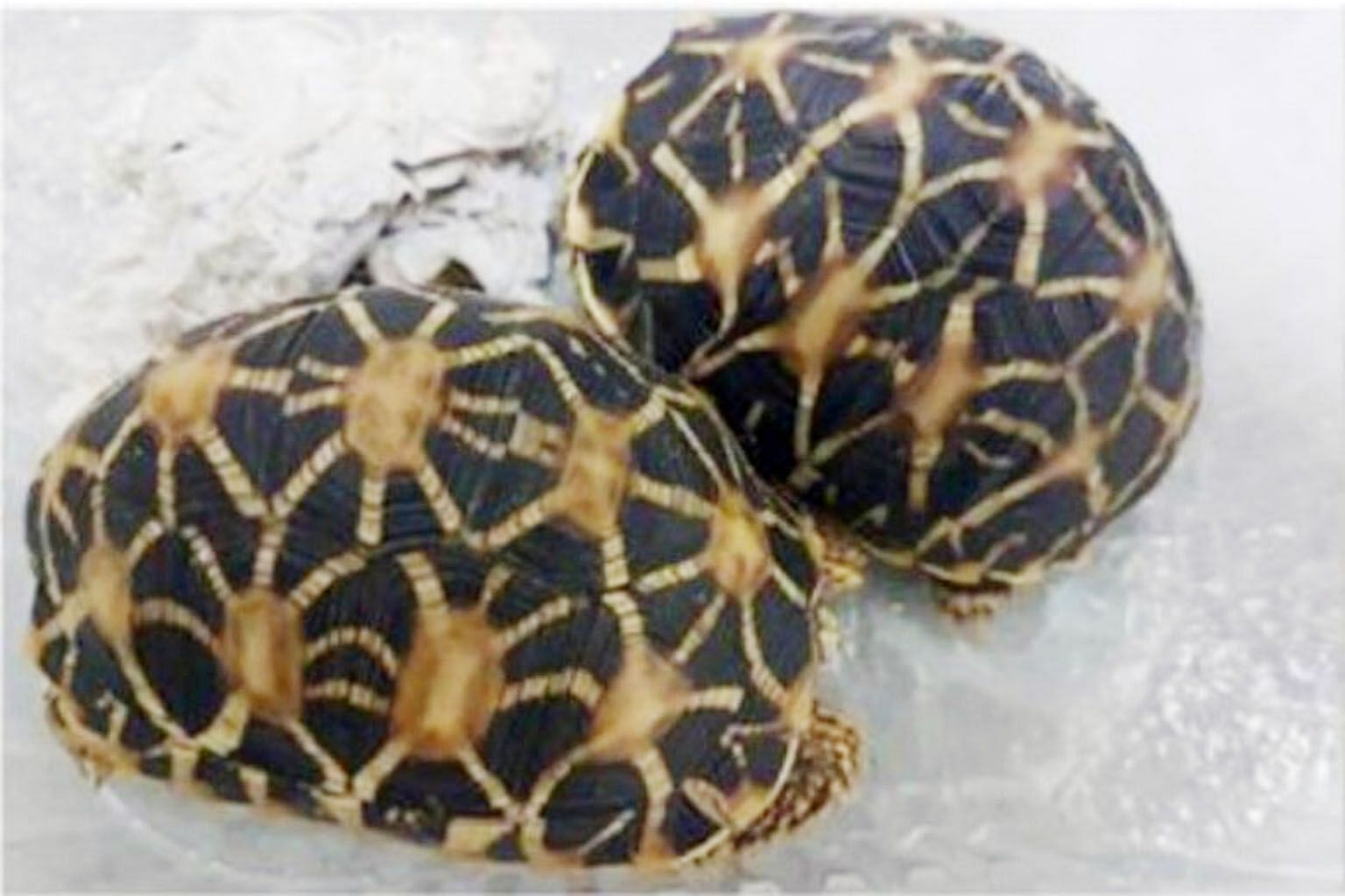 The two Indian star tortoises (above) and hedgehog that were seized by the authorities in a sting operation.