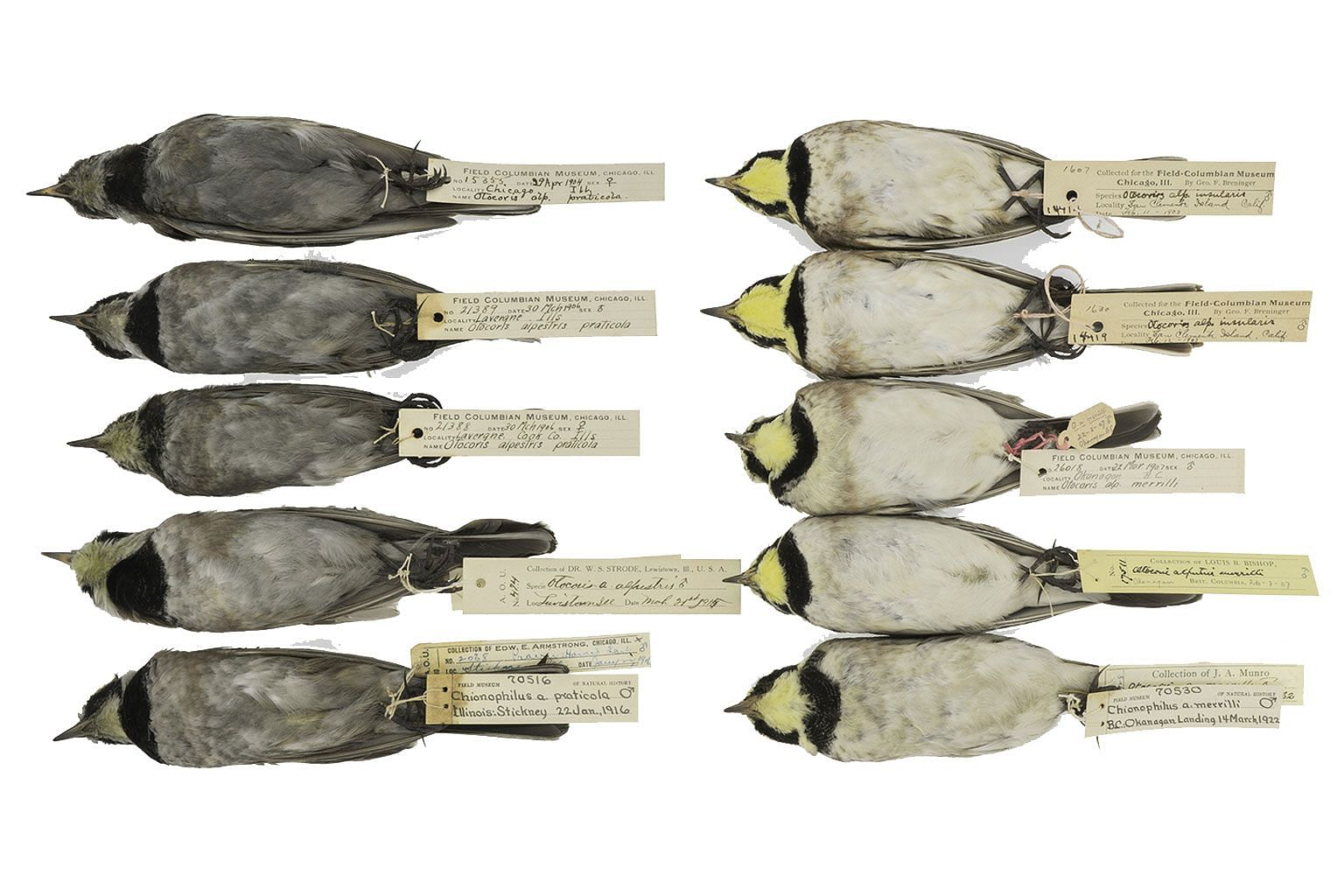 Horned Larks from The Field Museum's collections, with grey birds from the turn of the century and cleaner birds from more recent years when there was less soot in the atmosphere.