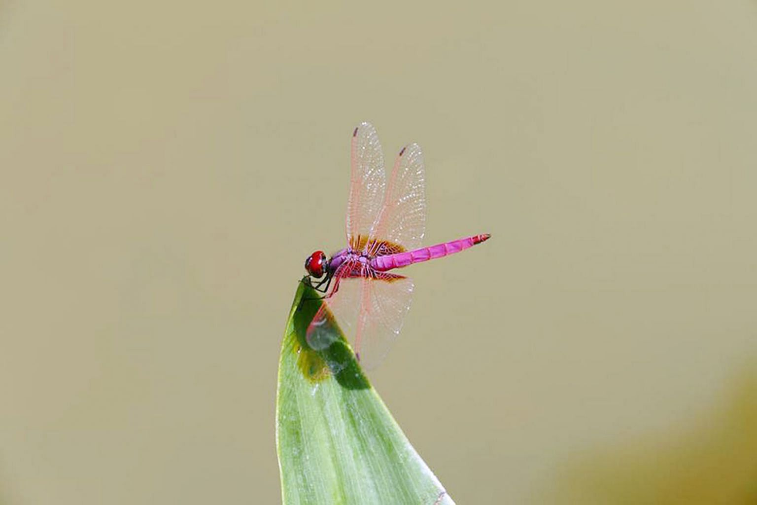 """Researchers at the Institute of Bioengineering and Nanotechnology are inspired by the wings of insects like the dragonfly, which are covered with minuscule """"nails"""" known as nanopillars that instantly tear apart bacteria coming into contact with them."""