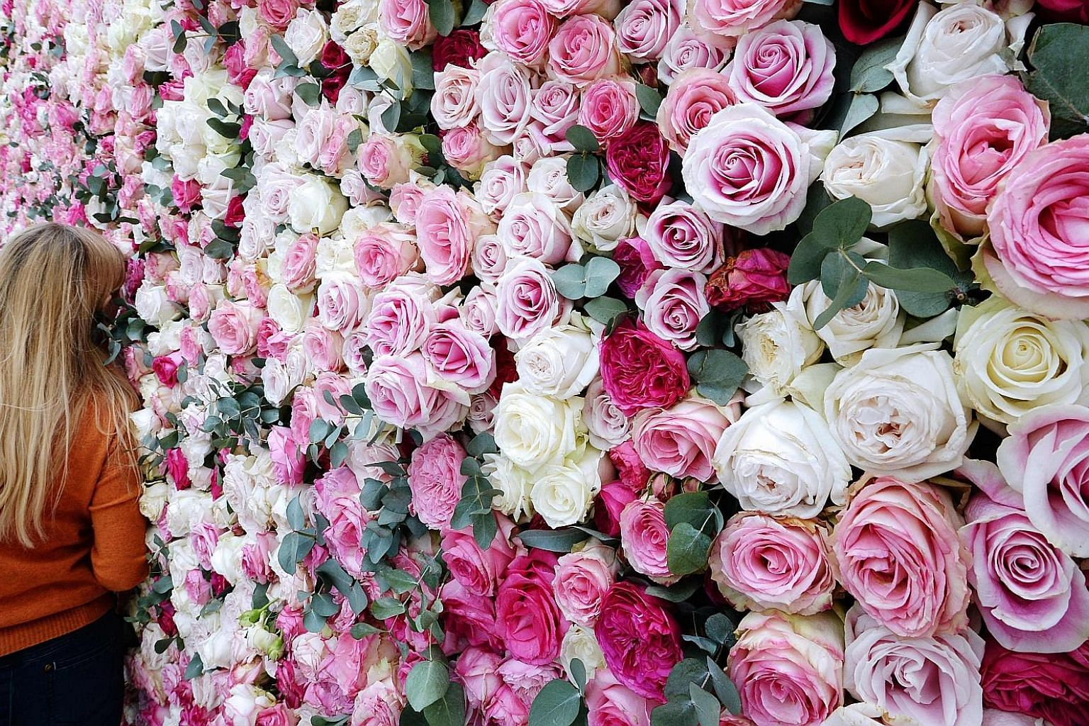 Over the centuries, roses have been bred for longer blooms and petals in every hue. However, this has dulled the smell of the flower. Now, researchers know where to tinker in the genome to enhance the scent.