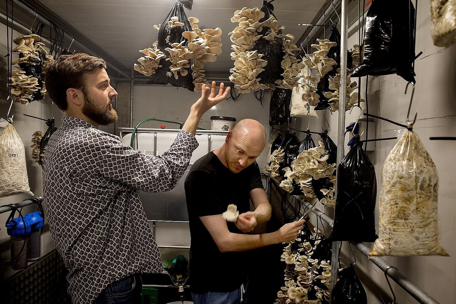 Above: The white, protein-rich mycelium. Right: Mr Tobias Lau (far right) and project manager Ebbe Korsgaard harvesting mushrooms grown in coffee grounds.