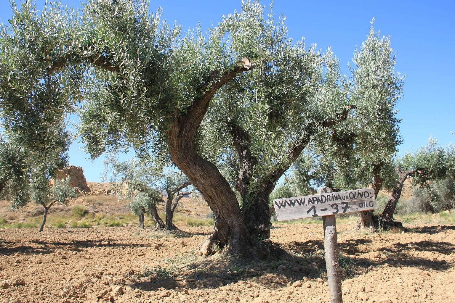 """The olive trees of Oliete, a village in Spain, are waiting for """"godparents"""" to adopt them."""