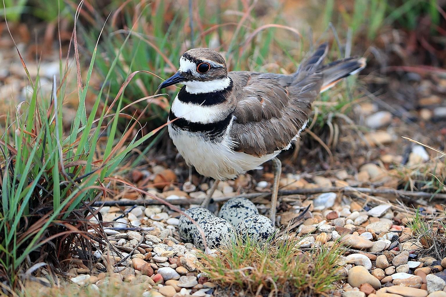 A killdeer (a bird that looks like this, left) laid four eggs in an Ottawa park where the main stage for an annual music festival, Bluesfest, is to stand, bringing preparations to an abrupt halt.