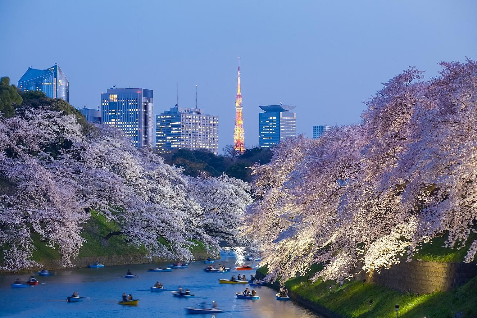 Cherry blossom light-up in Tokyo in spring.