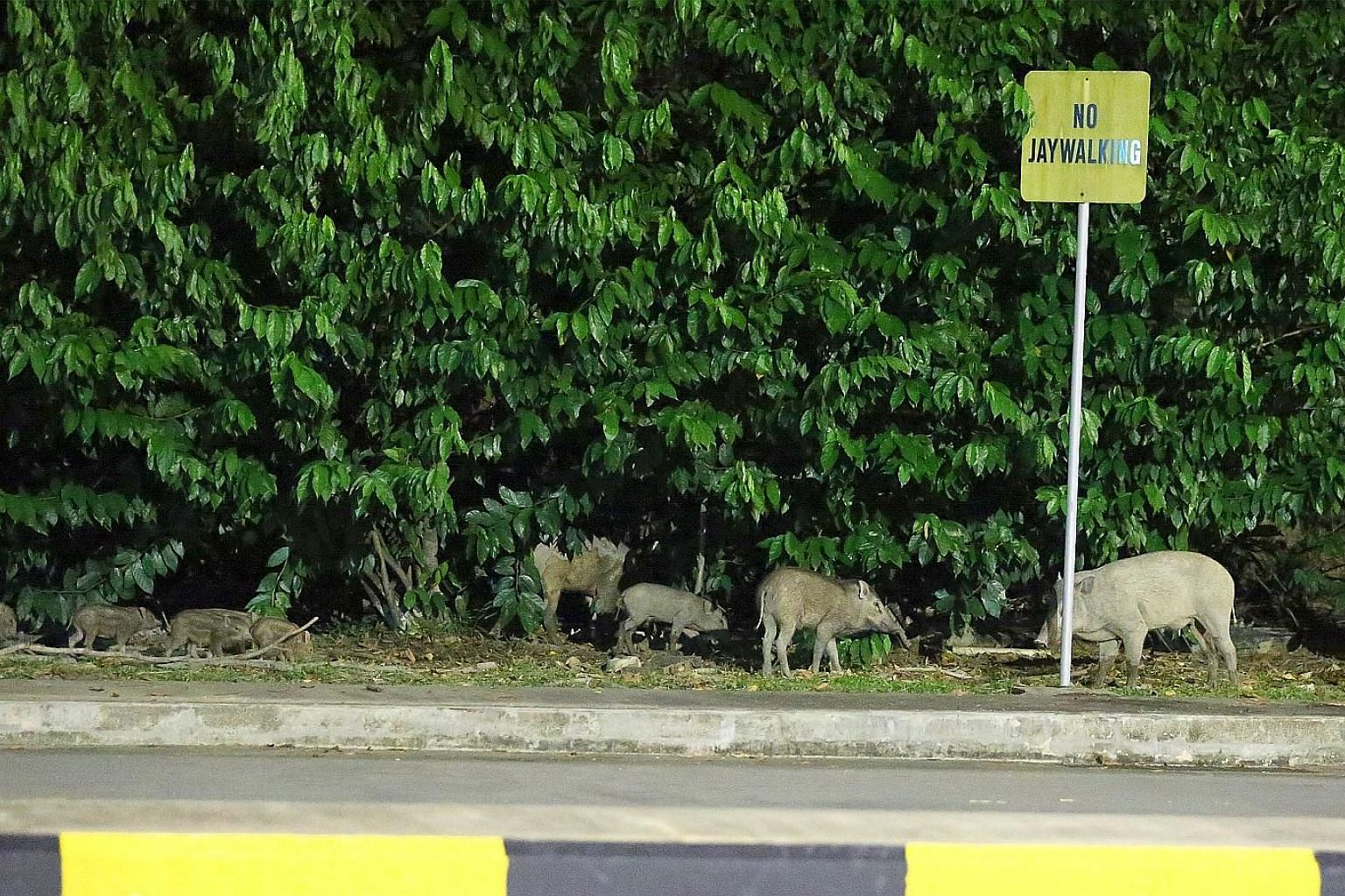 Wild boars were spotted around Tuas bus interchange in June last year. Such encounters between humans and wildlife are rising.