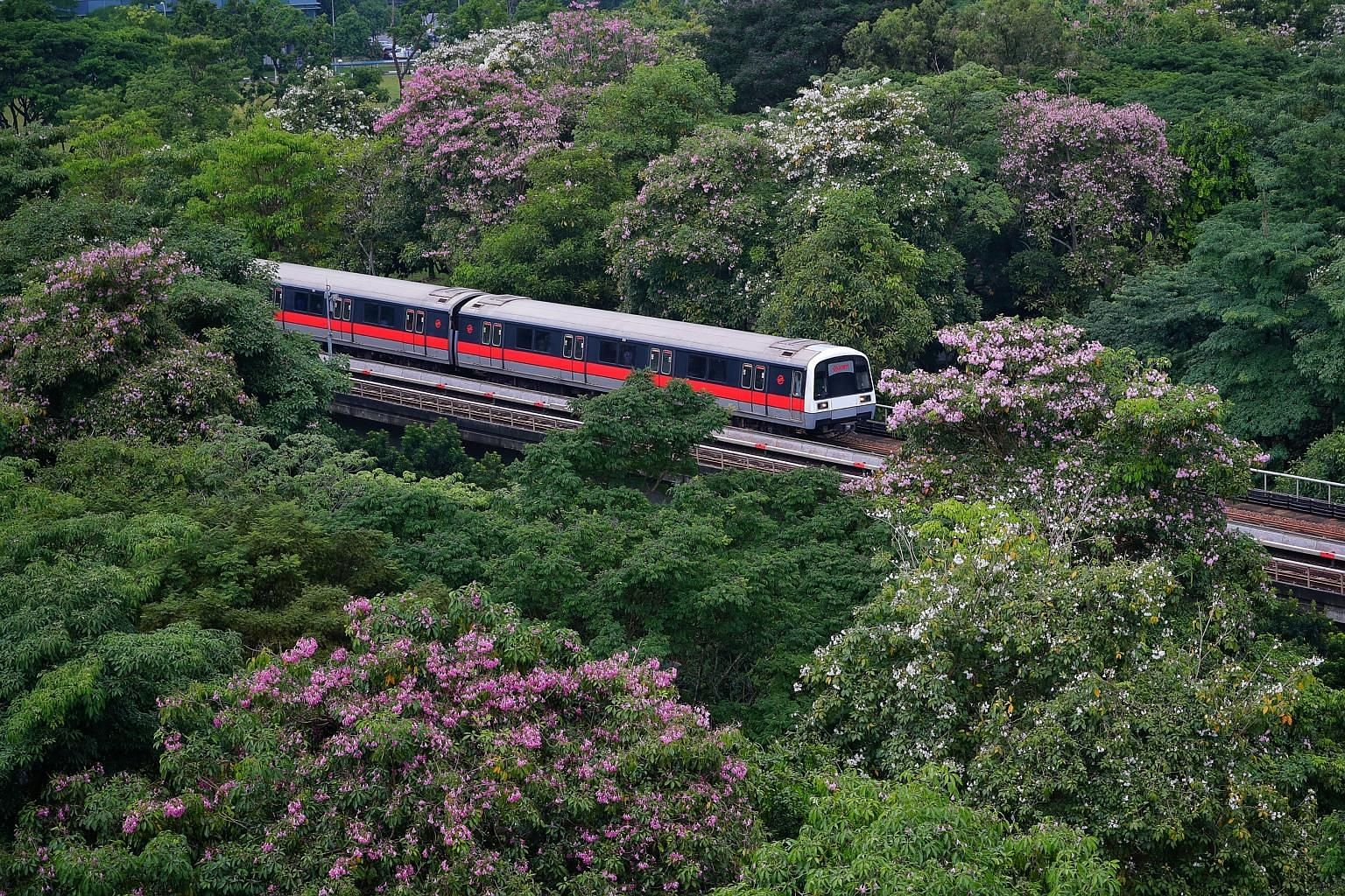 Singapore's own version of sakura was seen blooming yesterday as an SMRT train bound for Pasir Ris MRT station made its way past the canopies of Tabebuia rosea, also known as trumpet trees. The flowering trees resemble Japan's famed cherry blossoms,