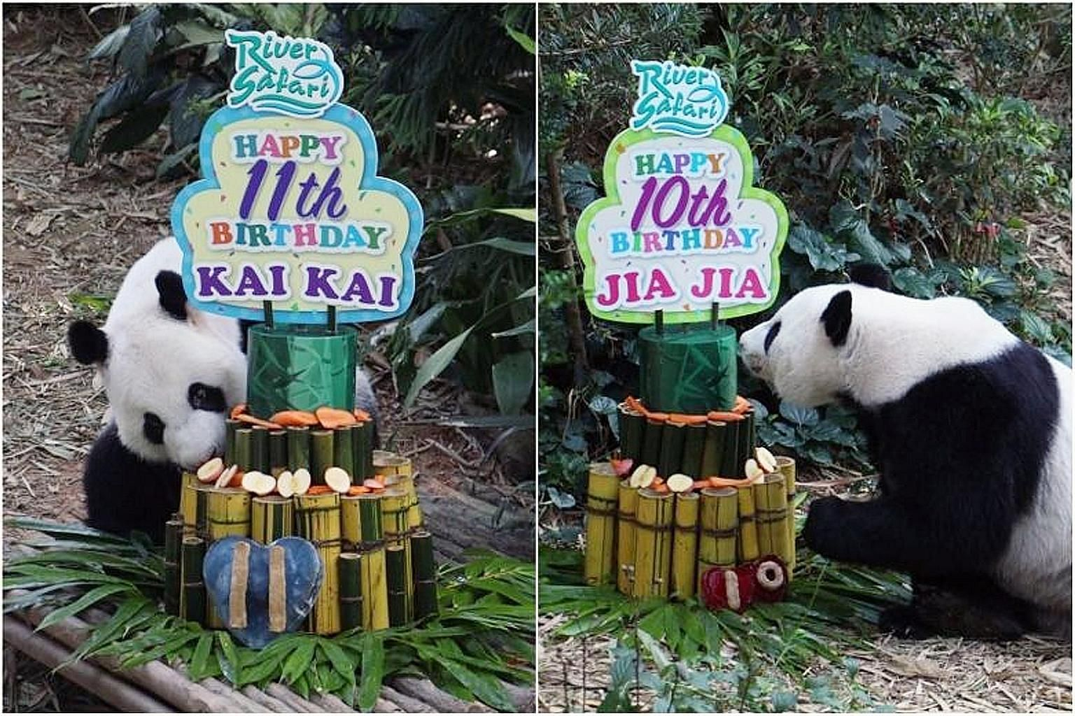 Bamboo, apples and carrots are not your usual ingredients for a birthday cake. They were, however, the perfect birthday surprise for River Safari's famous panda couple Kai Kai and Jia Jia, as the pair entered the Giant Forest enclosure yesterday morn