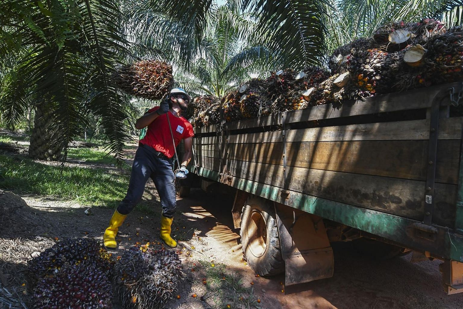 A farmer at his oil palm plantation at Felda Palong 5. Analysts noted that Umno's strength in the Felda heartland has been eroding in the last three polls, and that it will be tough for the party to win back the Felda-linked constituencies it lost in