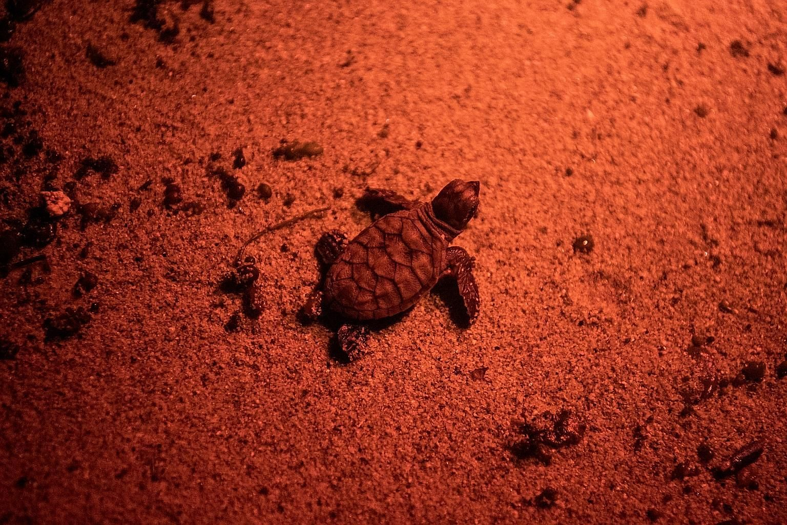One of the hatchlings (left) spotted on Tuesday night, and an empty egg shell (above). Red light was used to snap the photos as it is the colour the hatchlings - which use moonlight to navigate - are least sensitive to.