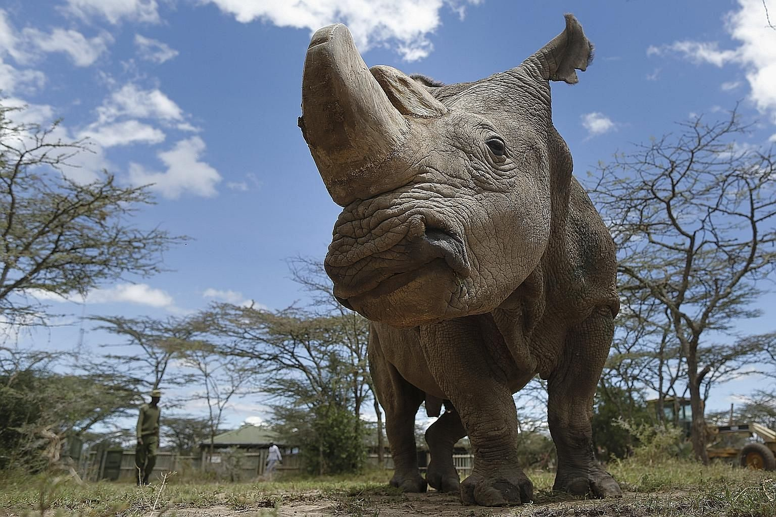 The last surviving male northern white rhino on Earth (above) died in Kenya on March 19, meaning just two females are left. Thousands of species of wildlife sit on the verge of extinction because of human actions. Technological advancements are dwarf