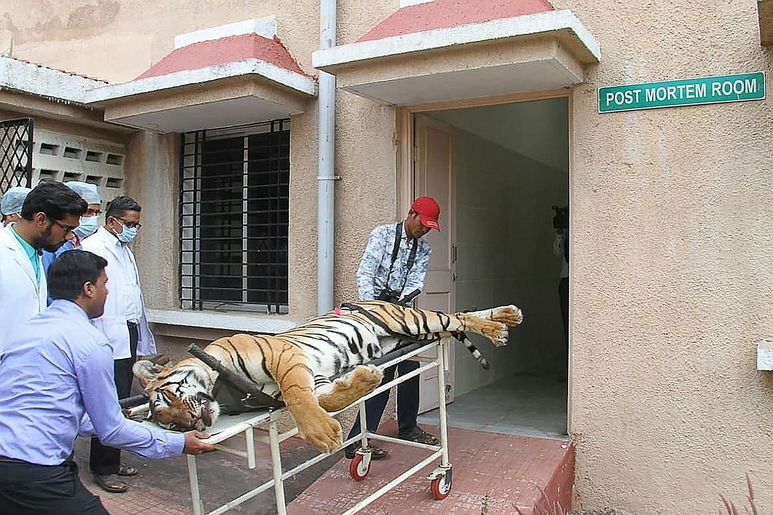 Gorewada Rescue Centre personnel taking the body of T1, or Avni, into a post-mortem room at the centre in Nagpur last Saturday. She was shot dead last Friday by one of the private shooters contracted for the job. Wildlife activists accuse the team le