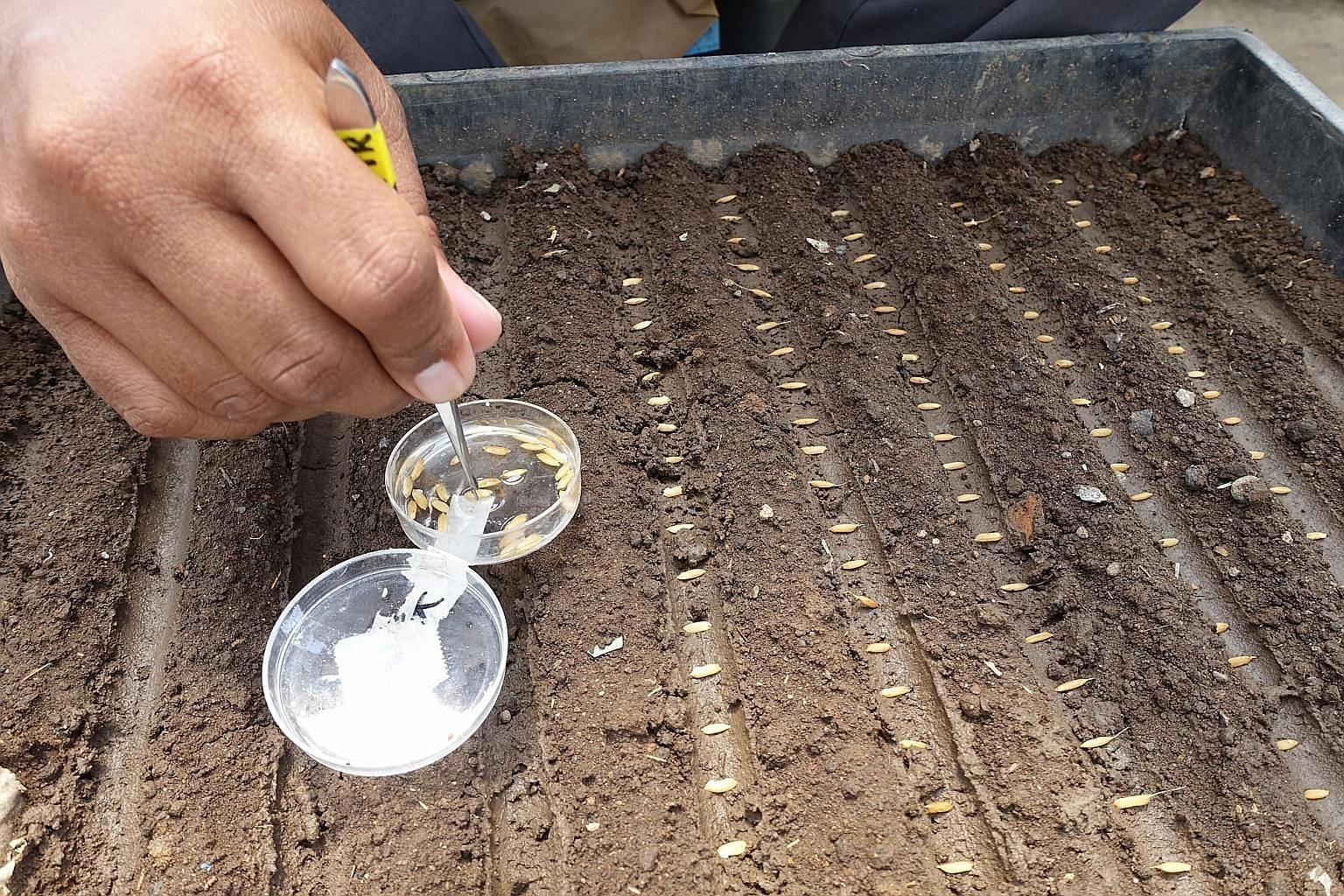 Left: Rice seeds being planted for an experiment at the International Rice Research Institute. Far left: Rice plant being prepared for a pollination process that will bring out certain traits.