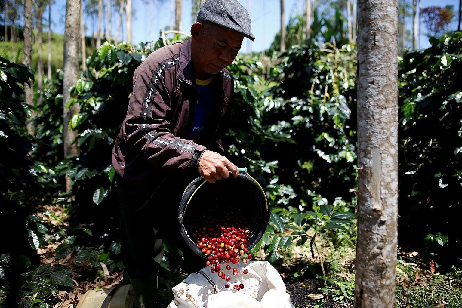 A worker harvests Arabica coffee cherries in a plantation in West Java. Arabica coffee is popular with coffee drinkers worldwide but Indonesian coffee plantations are not growing enough. Some 90 per cent of the coffee produced in Indonesia is the Rob